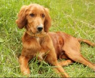 Red Setter Missing from Kilbrittain