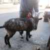 Billy Goat Found Straying in Cork City