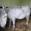 ISPCA Encounters Widespread Donkey Welfare Problems