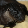 Hope for injured otter Henry