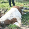 Mutilated Horse Carcasses Discovered