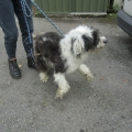 A young bearded collie dog was rescued with his coat in very poor condition