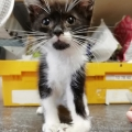 Kitten rescued with radial nerve paralysis now in ISPCA care