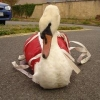 Unsupervised Dog Thought to be Responsible for Injury to Swan