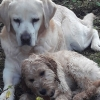 Max the Golden Oldie Labrador has found a puppy friend who keeps him young