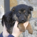 Three unwanted puppies now in ISPCA care