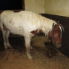 ISPCA's Attempts to Save Abandoned Filly are Unsuccessful