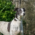 ISPCA supports proposed amendment to the Welfare of Greyhounds Act