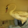 Swan rescue