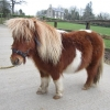 Abandoned pony in the care of the ISPCA