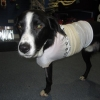 Collie with Damaged Leg Rescued