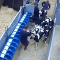 Horrific treatment of Irish dairy calves being kicked and stamped on by workers