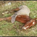 National Equine Welfare Crisis Worsens