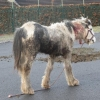 Seven month old foal abandoned in Sligo with horrific neck injury
