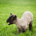 ISPCA warn dog owners to keep their pets under effective control around sheep and other livestock