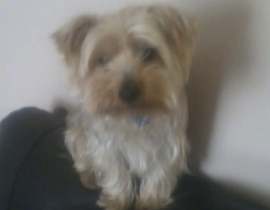 Lost Yorkshire terrier (Jake)