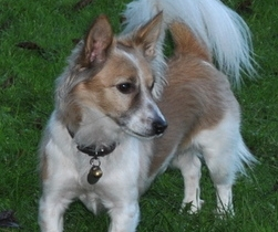 small silky haired terrier cross