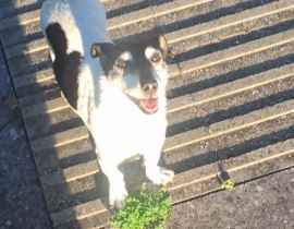 jack russell found in father collins park clongriffin