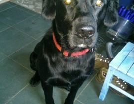 Black Labrador cross lost in Celbridge, St Raphaels estate