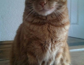 PUSHY ginger cat REWARD 100€