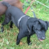 Black terrier lost a few miles from Ballincollig, Cork