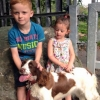 Missing Female Springer Spaniel