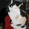 Lost Black, White and Ginger Cat in Castleknock