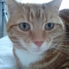 Missing since  22/5, Dun Laoghaire, female ginger domestic shorthair cat (microchipped).