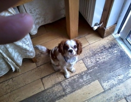 Lost dog in Lucan area