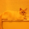 White cat missing in Lucan