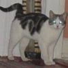 Still missing - white and tabby cat