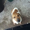 Found very small Jack Russell wandered in to house in Blarney area .. Brown and white colours