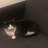 Female Black and White Cat Missing, Swords