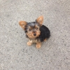 Lost Yorkshire Terrier in Donegal