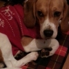 **beagle missing finglas, charlestown, ashbourne area. since yesterday at 3 call 0834582379***