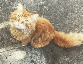 Missing Ginger Male Maine Coon - Sandymount Area