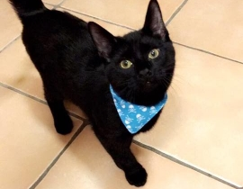 Lost Black Cat (Bagheera )