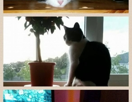 Missing - black and white cat
