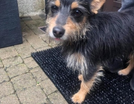 Dog found in Malahide