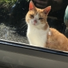 Ginger and white cat found in west cork