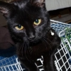 Black female cat found in Curraglass (Conna)