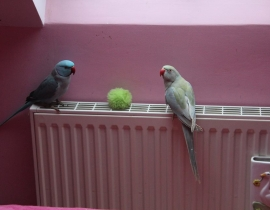 Ringneck Parakeet Missing from Wexford