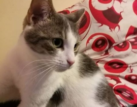 LOST Gray and White Short Hair Female Cat
