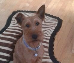 Lost Terrier - Sparky