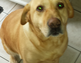 Golden Labrador missing