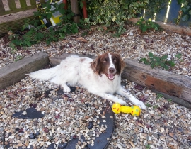Lost dog English Springer Spaniel