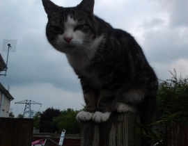 Young cat missing . Kilteragh , Dooradoyle, Limerick