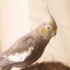 Lost Grey Cocketiel