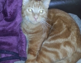 Ginger cat missing from Ennis Parnell Street area