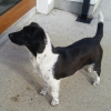 Female black and white doggy found in Louth